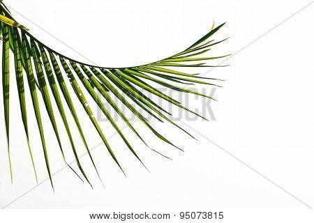Green damaged palm leaf isolated on white background
