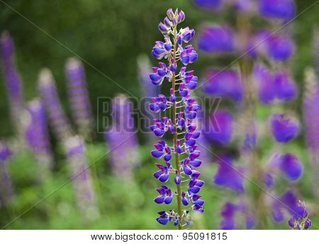 Field Of Lupinus (lupin, Lupine) Near Forest In Sunny Summer Day