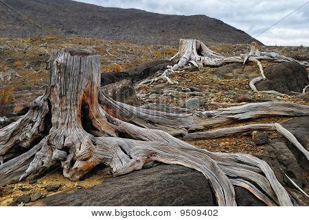 Old Dead Stumps