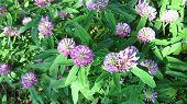 image of red clover  - Flowers of red clover on the summer meadow