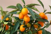 pic of kumquat  - details of Orange kumquat on the tree - symbol of Vietnamese lunar new year ** Note: Shallow depth of field - JPG