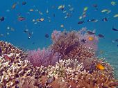 pic of shoal fish  - Thriving coral reef alive with marine life and shoals of fish Bali - JPG