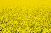 image of rape-field  - Landscape with rape field during flowering in early spring. Early spring in a sunny nice day in the countryside - JPG