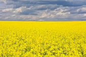 picture of rape-field  - Landscape with rape field during flowering in early spring Early spring in a sunny nice day in the countryside - JPG