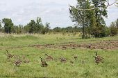 picture of mother goose  - Canada Geese and Goslings in high grass in farmers field heading towards a body of water - JPG