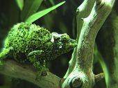 picture of chameleon  - A green chameleon quietly sits on a branch - JPG