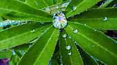 pic of raindrops  - Dew on the leaves after rain - JPG