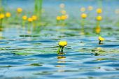 stock photo of ponds  - Water lily flower on pond with lotus leaves on pond - JPG
