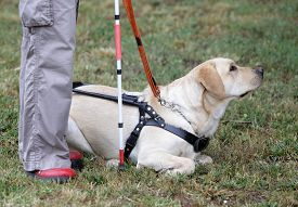 picture of seeing eye dog  - A blind person is led by her golden retriever guide dog during the last training for the dog - JPG