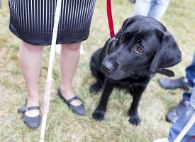 stock photo of seeing eye dog  - Black labrador guide dog before the last training for the animal - JPG
