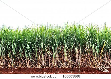 Sugarcane on dry ground with a white background.