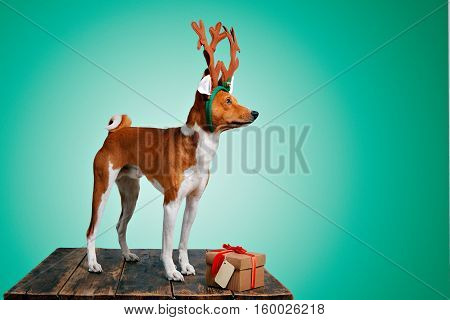 Pretty brown and white puppy dressed up as a reindeer stays next to a present in a box with red bow and tag on cold green background