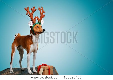 Pretty brown and white puppy dressed up as a reindeer stays next to a present in a box with red bow and tag on cold blue background, looking on side