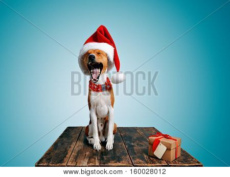Funny beautiful basenji dog wearing christmas santa hat and yawning on camera next to craft box with holiday gift tied with red tape and yellow small address tag, isolated on chill blue background