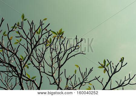 Branches of Plumeria (frangipani) tree on blue sky background.
