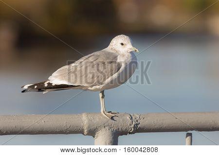 Seagull on the railing of the bridge closeup