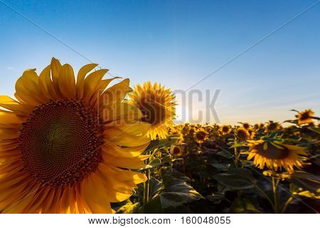 Sunflowers in rural field, profiled on bright sun light