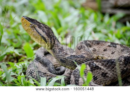 Close up view of a dangerous Ferdelance snake(Bothrops asper) in the grass ready to strike