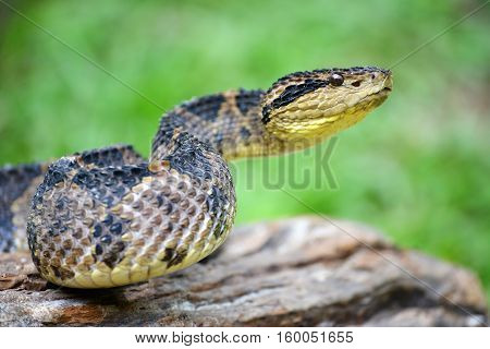 Close up of a Very venomous jumping pit viper getting ready to strike in the jungles of Panama