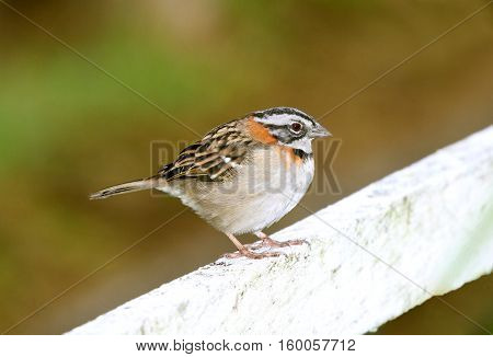 rufous-collared sparrow perched on a fence rail