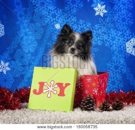 Pomeranian sitting in a Christmas box with a slight head tilt.
