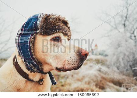 Labrador retriever with cap on his head in frosty wintry landscape.