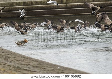 A dog runs into the water chasing after the birds in Coeur d'Alene Idaho.