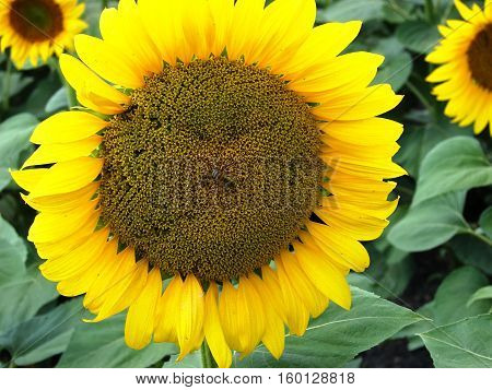 A sunflower in full bloom showing future sunflower seeds.