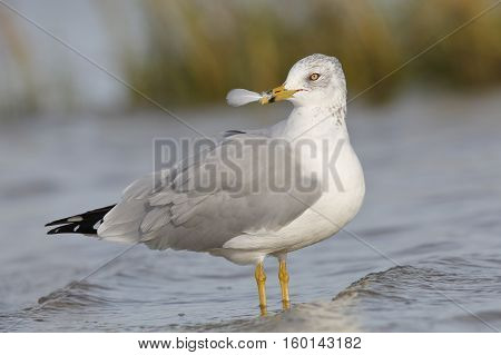 Ring-billed Gull Holding A Feather In Its Beak - Florida