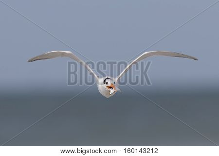 Royal Tern Carrying A Fish In Flight - Florida