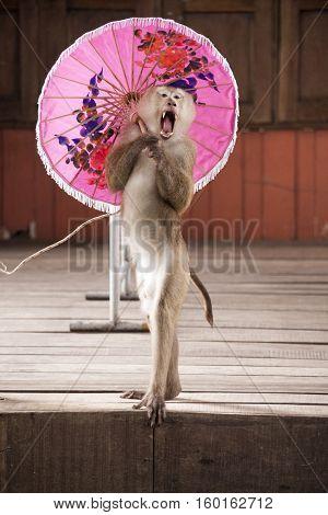 Macaques in circus fashion shows with an umbrella Circus performance Macaque . Thailand Phuket