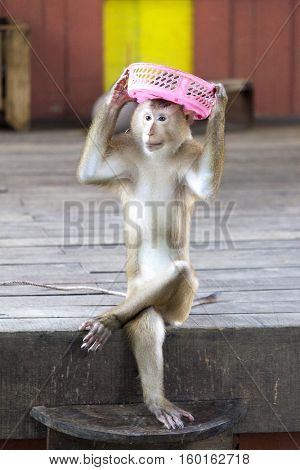 Macaques in the circus playing with a basket. Circus performance Macaque playing . Thailand Phuket