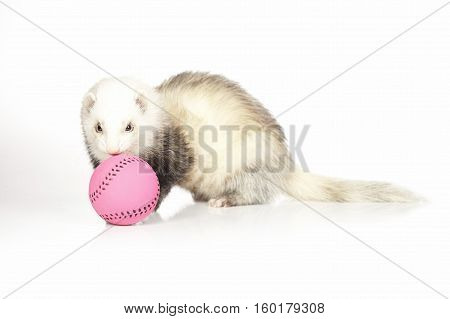Ferret with toy on white background posing for portrait in studio