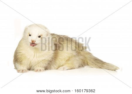 Champagne ferret on white background posing for portrait in studio
