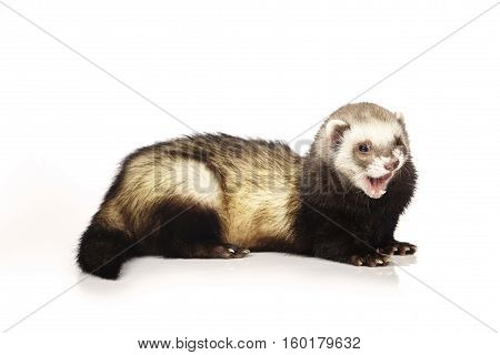 Nice ferret  male on white background posing for portrait in studio