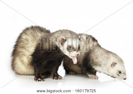 Two ferrets on white background posing for portrait in studio