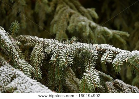 Frosted branch of spruce. Frosted. Spruce in winter.