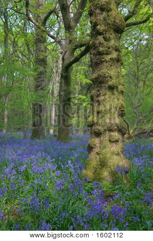 Bluebells And Knobbly Tree