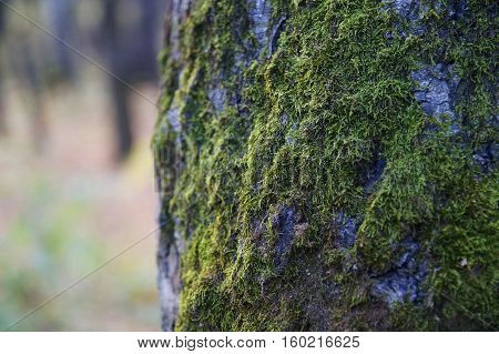 Green moss on a tree bark in the forest.