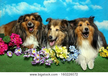 Three shetland sheepdogs wearing happy faces, lay among flowers.