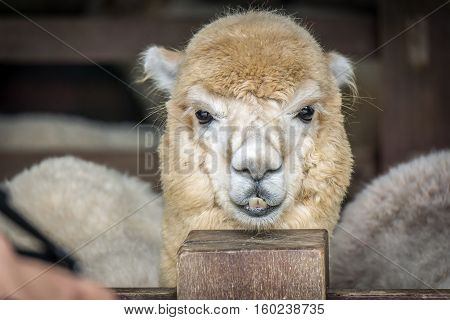 The Alpaca is smiling to the camera.