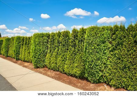 Long green hedge along concrete sidewalk on blue sky background