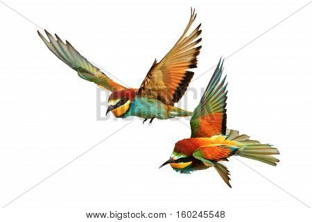 Birds of Paradise fighting in flight isolated on a white background, bee-eaters , Merops Apiaster