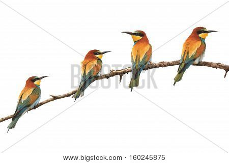 Paradise colored birds sitting on a branch isolated on white, bee-eaters , Merops Apiaster