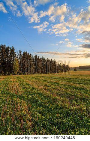 Field with clover seedlings amid high fir trees, sunset sky