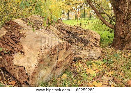 large chunk of chopped wood with trees background
