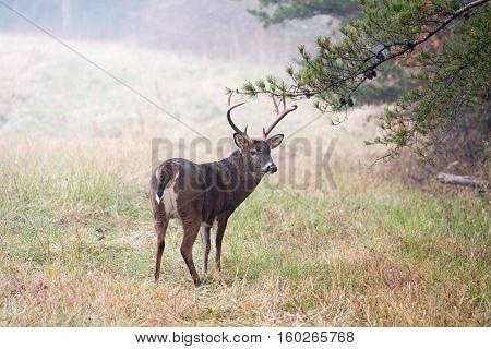 Large White-tailed Deer Buck