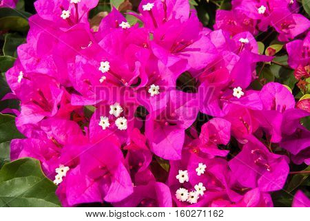 a beautiful dense cluster of pink bougainvillea