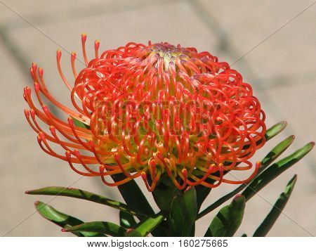 Proteas, Found Mainly In The Western Cape, South Africa 12asz