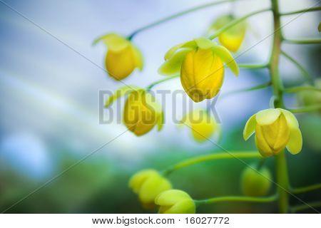 Golden Shower Tree / Blooming
